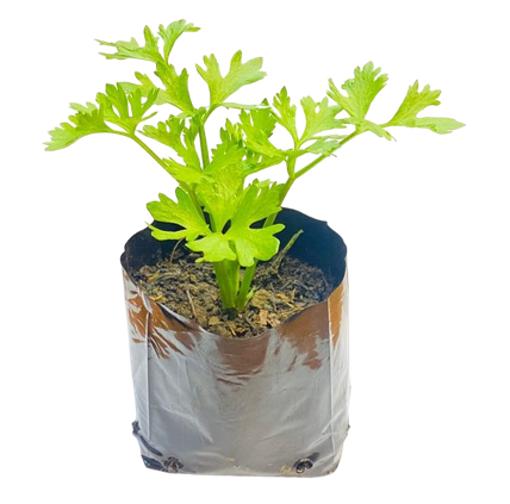 Picture of Celery Pot Plant