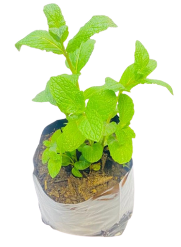 Picture of Mint Pot Plant