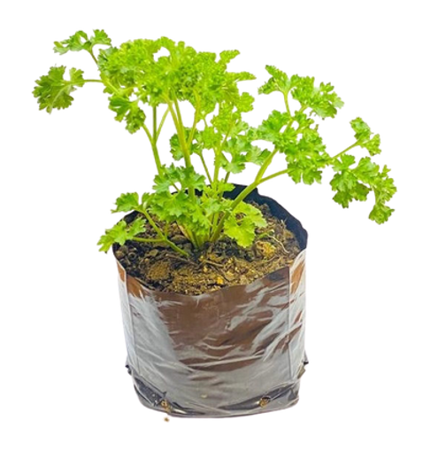 Picture of Parsley Pot Plant