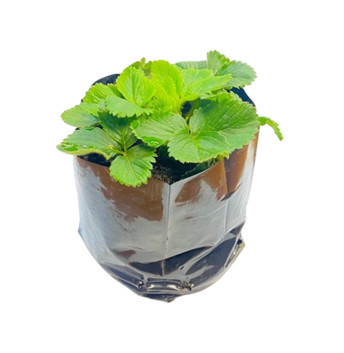 Picture of Strawberry Pot Plant