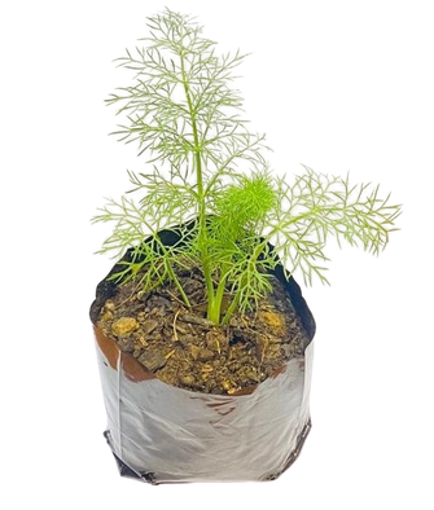 Picture of Fennel Pot Plant