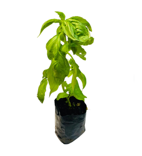 Picture of Basil Pot Plant