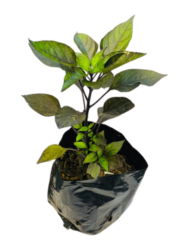 Picture of Dark Opal Basil Pot Plant