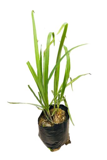 Picture of Lemon Grass Pot Plant